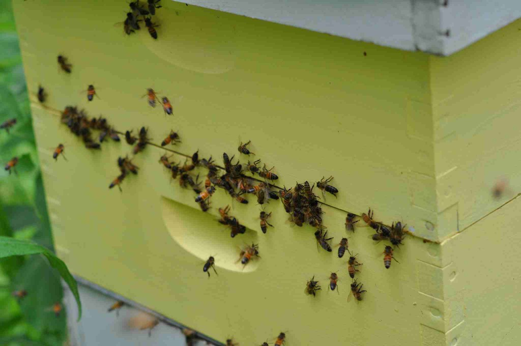 Bees at joints of hive bodies