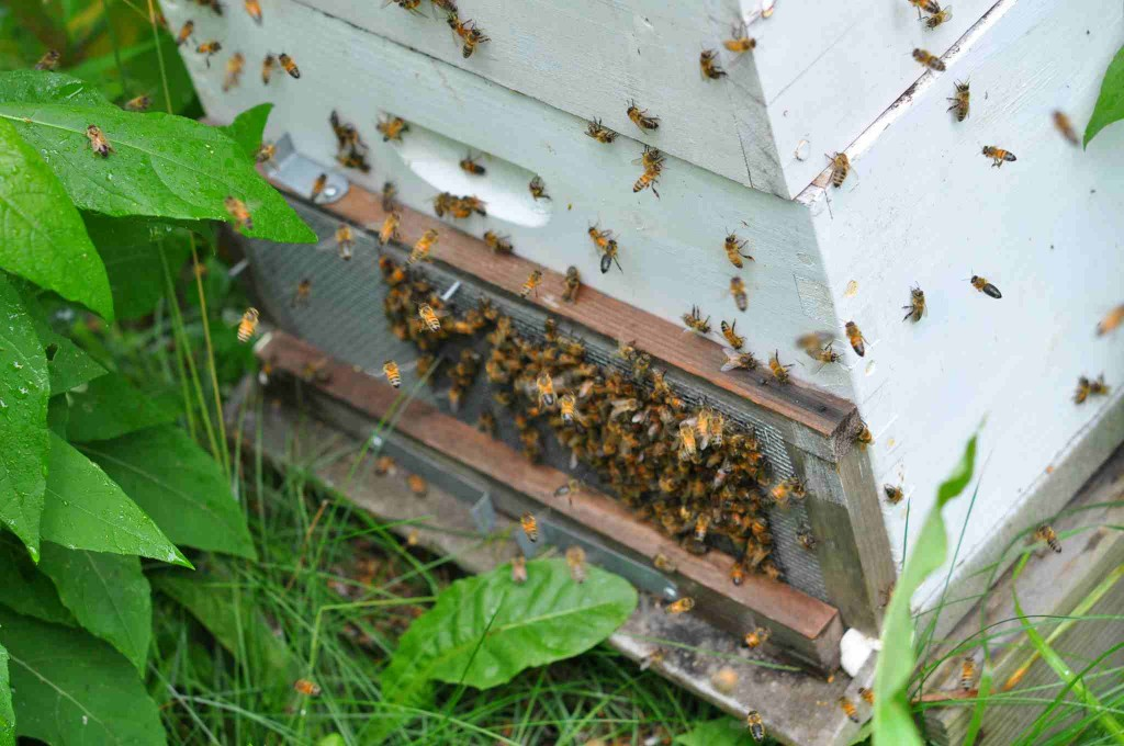 Note: Due to continued robing I also closed the top entrance, preventing any bees from entering hives. I felt that some robbing bees were making use of the top entrance. Later in the day I closed it, after robbing had subsided.